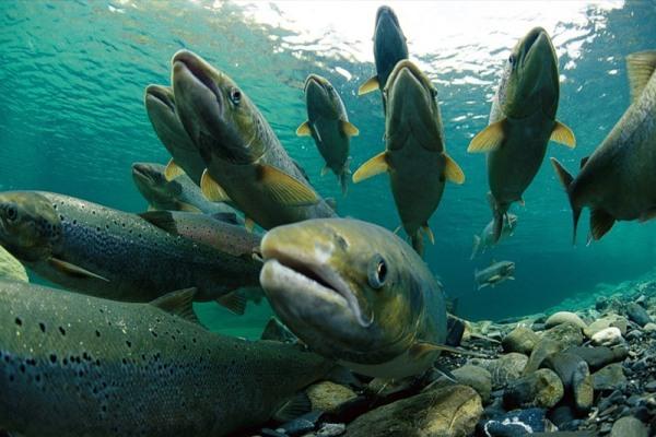 fishcannon_2