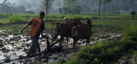 рис бали