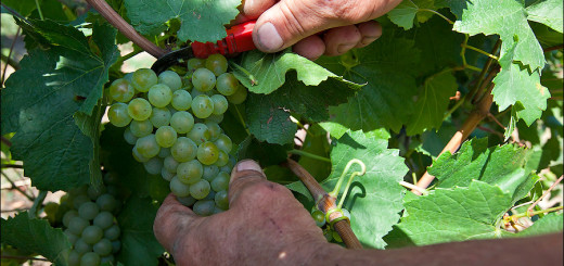 Harvesting grapes at the farm Black River Valley Vinery
