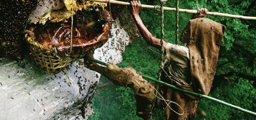Как в Непале собирают мед