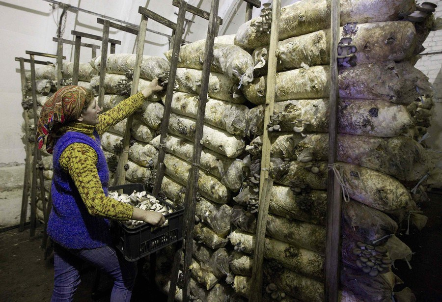 A worker gathers mushrooms from mushroom beds at a private farm, workshops of which are located inside hangars of a former Soviet missile military base, in the village of Minoity, about 160 km (100 miles) west of Minsk, December 4, 2012. The farm cultivates and sells about 10 tons of oyster mushrooms, or Veshenka mushrooms, each month in Belarus and neighboring countries. The mushrooms cost 23,000 Belarussian roubles ($2.70) per kg. REUTERS/Vasily Fedosenko (BELARUS - Tags: AGRICULTURE BUSINESS MILITARY FOOD SOCIETY)