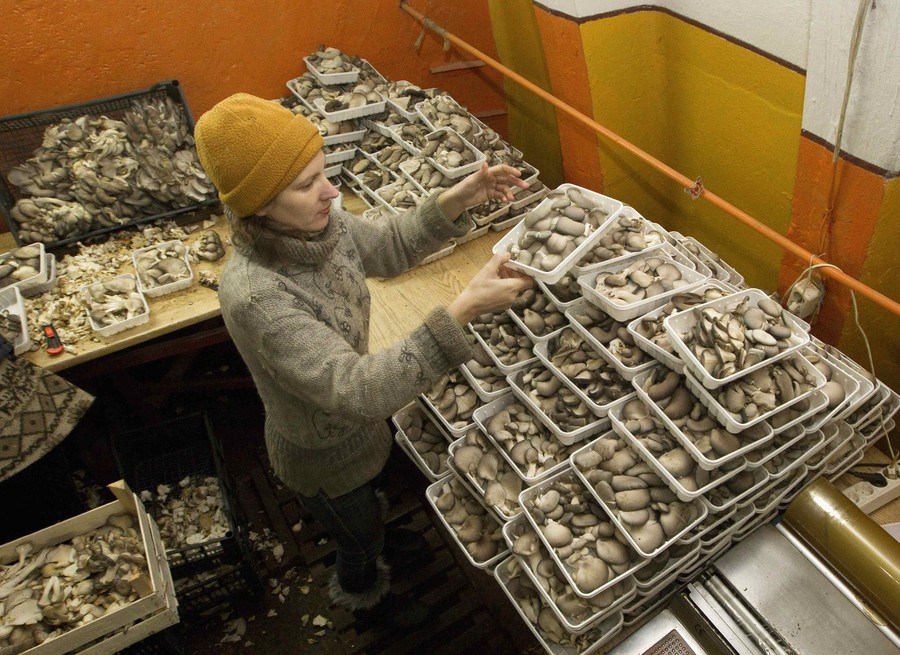 Worker sort mushrooms at a private farm, workshops of which are located inside hangars of a former Soviet missile military base, in the village of Minoity, some 160 km (100 miles) west of Minsk, December 4, 2012. The farm cultivates and sells about 10 tons of oyster mushrooms, or Veshenka mushrooms, each month in Belarus and neighboring countries. The mushrooms cost 23,000 Belarussian roubles ($2.70) per kg. REUTERS/Vasily Fedosenko (BELARUS - Tags: MILITARY ENVIRONMENT SOCIETY AGRICULTURE BUSINESS)